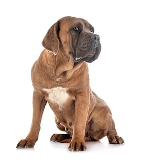 Italiaanse mastiff