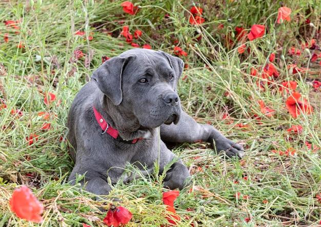 Italiaanse puppy-mastiff neergelegd in een veld met klaprozen