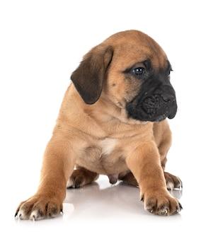 Italiaanse puppyhond