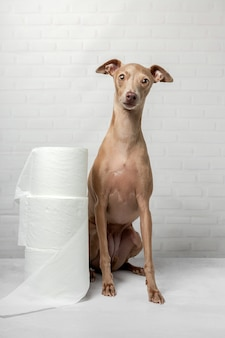 Italiaanse windhond hond spelen met wc-papier rollen