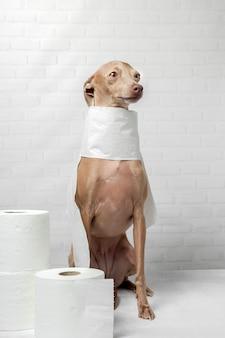 Italiaanse windhond hond spelen met wc-papier rollen Premium Foto