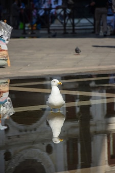 Ivoormeeuw staat op de oude stad met zijn poten in het water. de achtergrond achter haar is wazig.