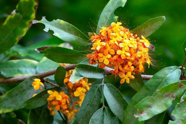 Ixora lobbii loudon, bloemen