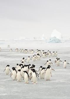 Jaarlijkse migratie van adélie-pinguïn op antarctica