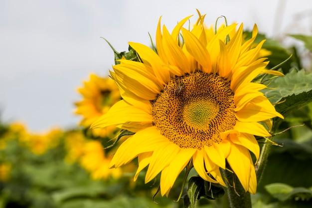 Jaarlijkse zonnebloem met gele bloemblaadjes op een landbouwgebied, close-up van zonnige bloemen