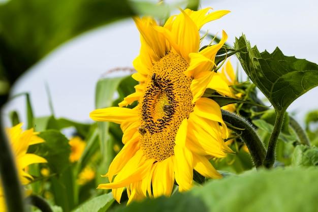 Jaarlijkse zonnebloemen