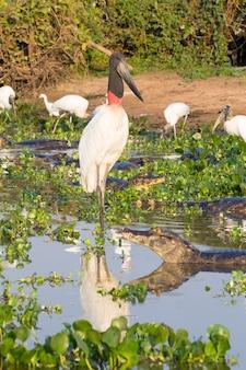 Jabiruoievaarsvogel over de aard in pantanal, brazilië. braziliaanse dieren in het wild