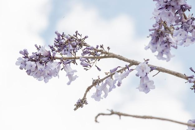 Jacaranda bloem