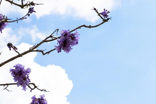 Jacaranda-bloemen zijn op blauwe hemel