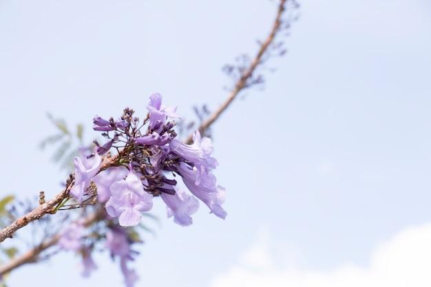 Jacaranda is op blauwe hemelachtergrond