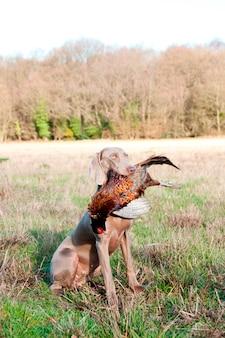 Jachthond met een fazant in zijn mond