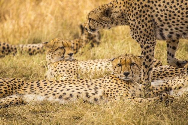 Jachtluipaarden die rusten op de masai mara safari in kenia