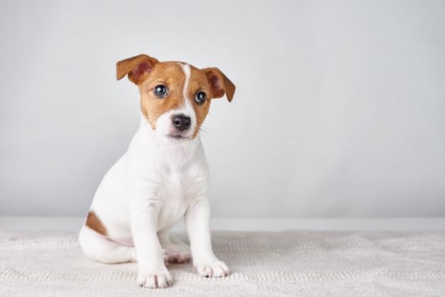 Jack russel-de zitting van de puppyhond op grijze achtergrond