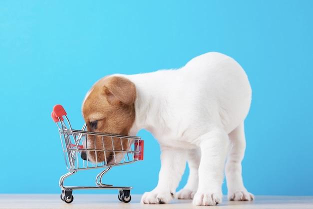 Jack russel-hondpuppy onderzoekt lege het winkelen karretjekar op blauwe achtergrond