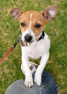 Jack russel puppy springen