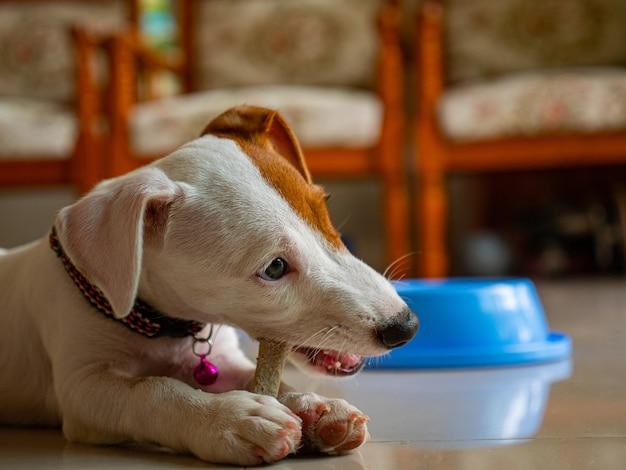 Jack russel terrier beet botvoer in de woonkamer.