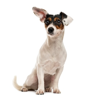 Jack russel terrier zittend