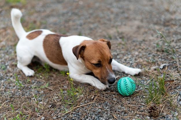 Jack russell-hond het spelen met bal op grasweide.