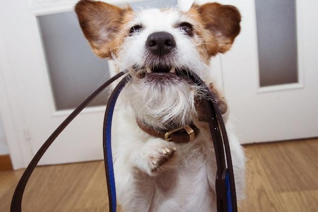 Jack russell hond klaar voor een wandeling, met blauw leer op zijn mond bij deuringang.