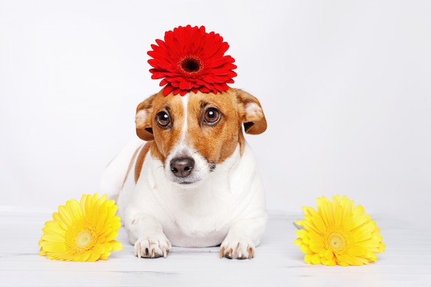 Jack russell hond met bloemen in zijn hand op lichte achtergrond.