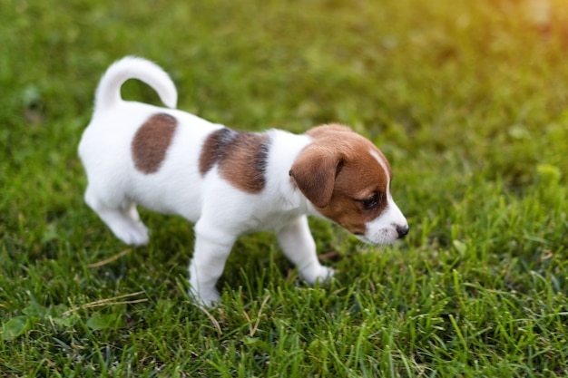 Jack russell hond op grasweide. weinig puppy loopt in het park, de zomer