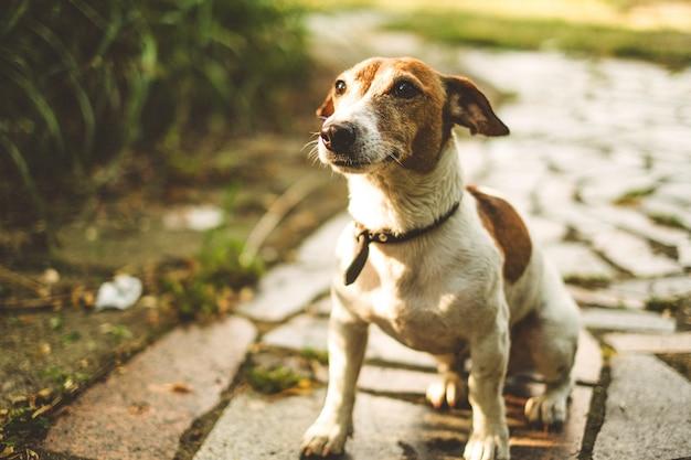 Jack russell-hond zit op een tegeltrack en wacht op teams, kijkt omhoog