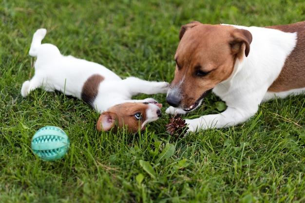 Jack russell-honden die op grasweide spelen. puppy en volwassen hond buiten in het park, zomer.