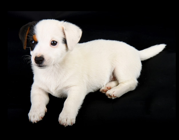 Jack russell puppy geïsoleerd op zwarte muur