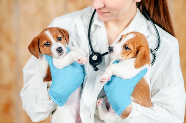 Jack russell-puppy's worden vóór onderzoek door een dierenarts vastgehouden. dierenkliniek. onderzoek en vaccinatie van huisdieren. gezondheidszorg.