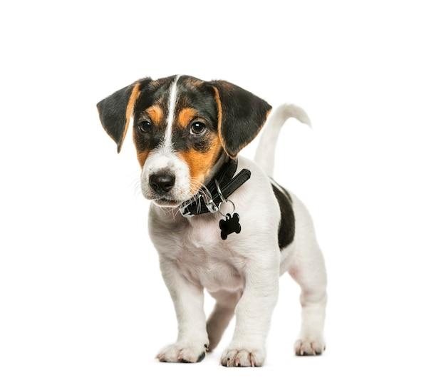 Jack russell terrier, 2 maanden oud, voor witte ondergrond