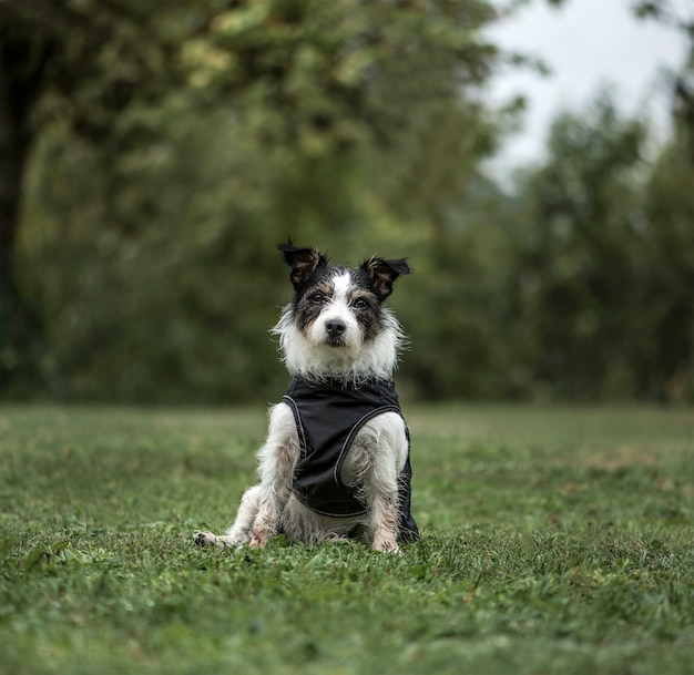 Jack russell terrier, 3 jaar oud, in park