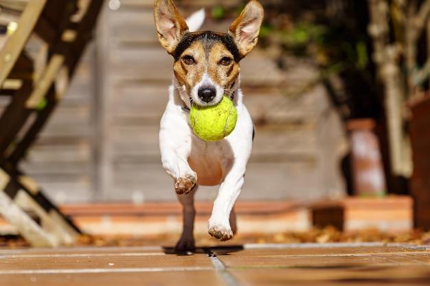 Jack russell terrier hond loopt naar camera met een tennisbal in zijn mond. behendigheidsspelletjes met het huisdier. spelen.