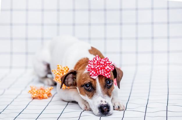 Jack russell terrier-hond met strik op de geruite muur.