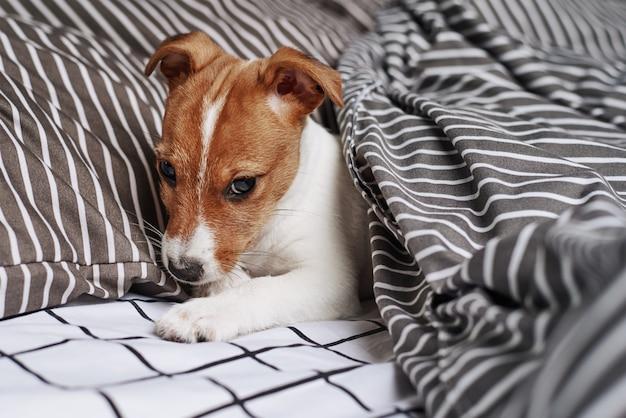 Jack russell terrier hond onder deken in bed