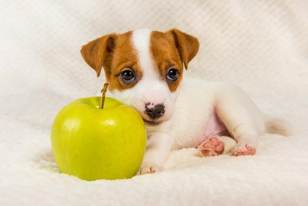 Jack russell terrier hond puppy en gele appel