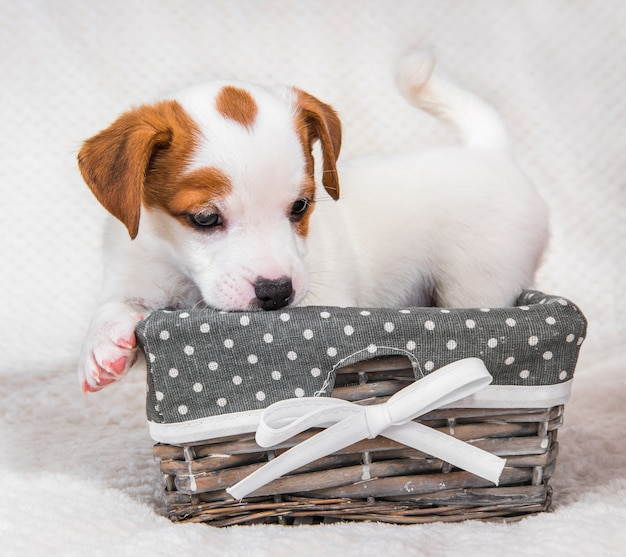 Jack russell terrier hond puppy in de mand.