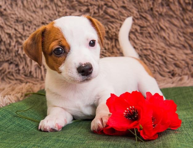 Jack russell terrier hond puppy liegt en bloemen.