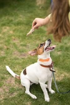 Jack russell terrier-hond vraagt om een bot van de eigenaar