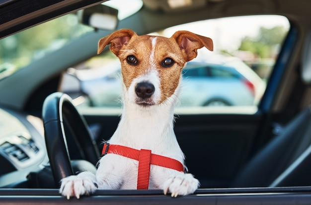 Jack russell terrier-hond zit in de auto op bestuurderszit. hond kijkt uit autoraam