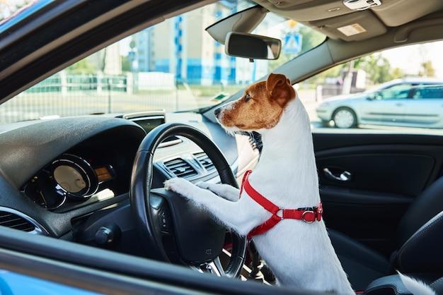 Jack russell terrier-hond zit in de auto op bestuurderszit. reis met een hond