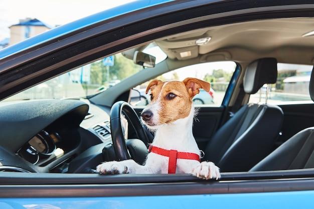 Jack russell terrier-hond zit in de auto op bestuurderszit