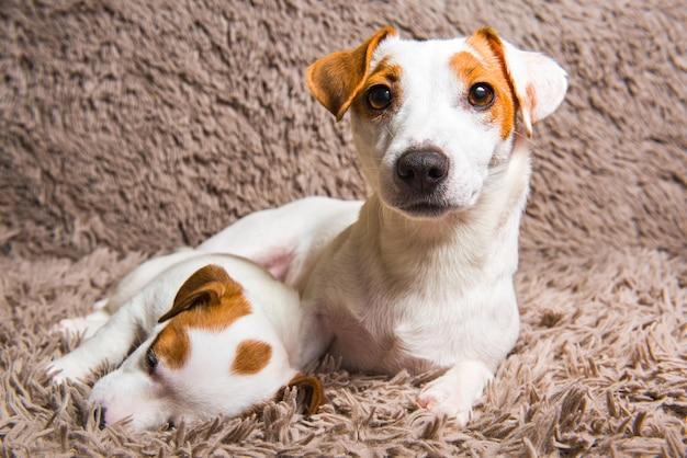 Jack russell terrier-honden liggen dicht bij elkaar, volwassen moederhond en babypuppy.