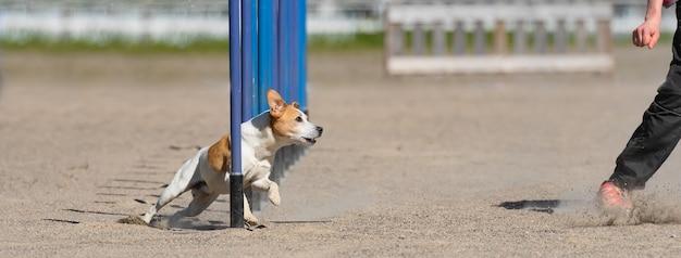 Jack russell terrier loopt op een behendigheidscursus