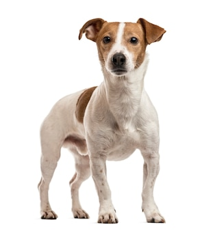 Jack russell terrier opstaan