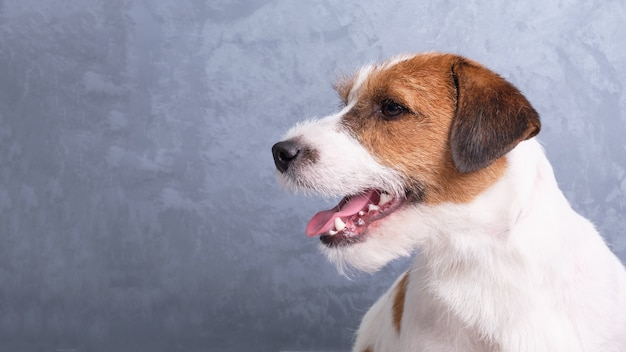 Jack russell terrier portret close-up op een grijze muur. advertentieruimte