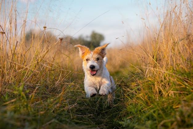 Jack russell terrier-puppy die in een veld op hoog herfstgras loopt