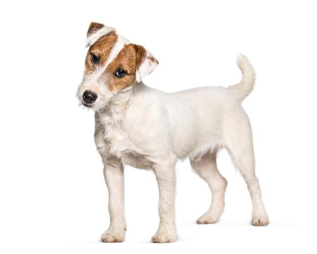 Jack russell terrier-puppy die zich tegen witte achtergrond bevinden