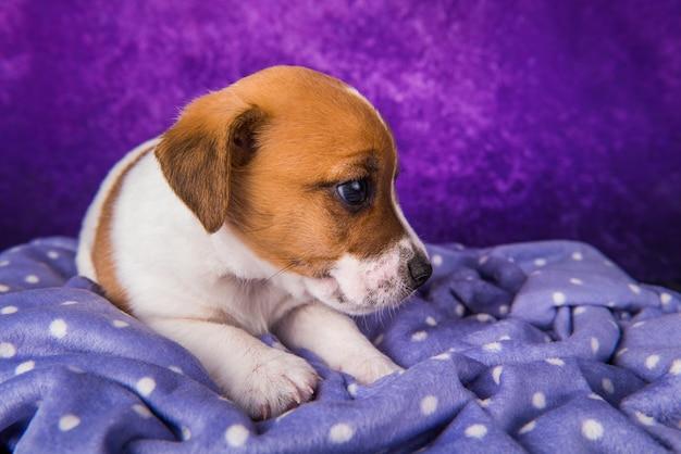 Jack russell terrier puppy hondje op een paarse