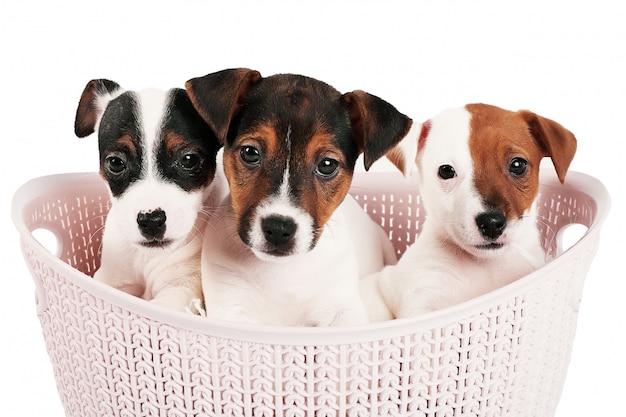Jack russell terrier-puppy in een roze mand op een wit