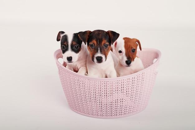 Jack russell terrier-puppy in een roze mand op een witte achtergrond